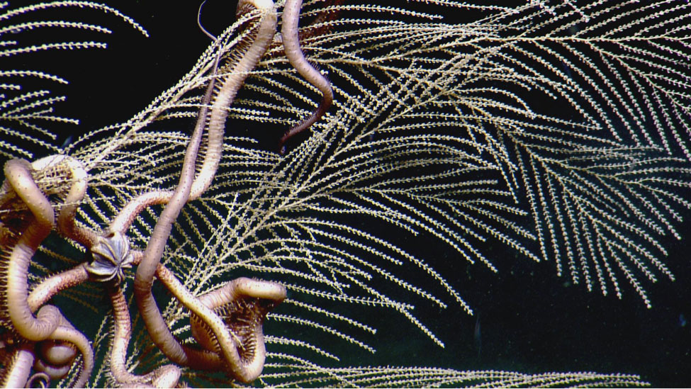 <div style='color:#000000;'><br /><br /><h2>Brittle star wrapped up in a deep water coral.</h2>Photo&nbsp;courtesy of&nbsp;Ocean Exploration Trust and ECOGIG</div>