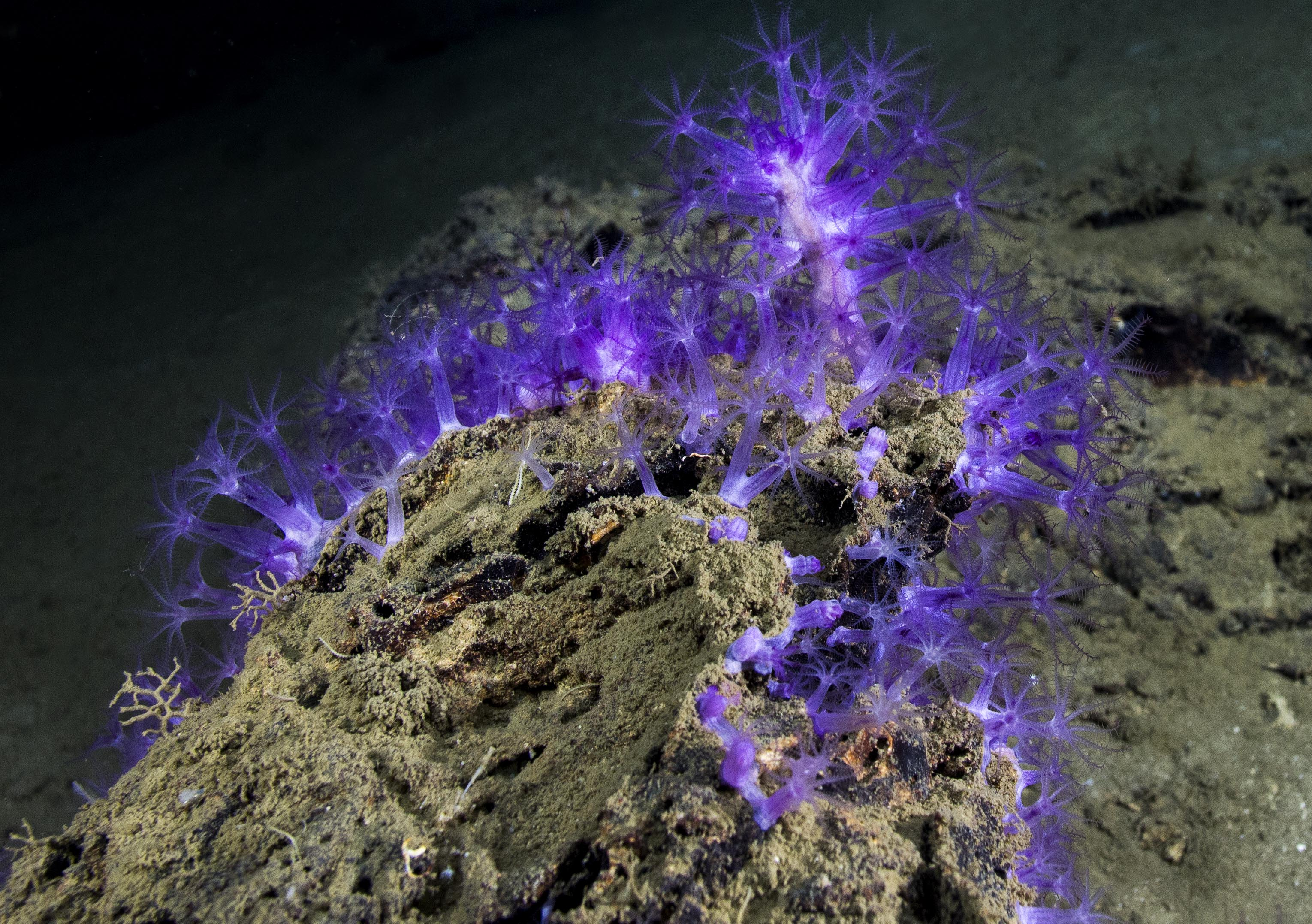 <div style='color:#000000;'><br /><br /><h2>A beautiful deep sea coral in the Gulf of Mexico.</h2>Photo courtesy of Ocean Exploration Trust and ECOGIG</div>